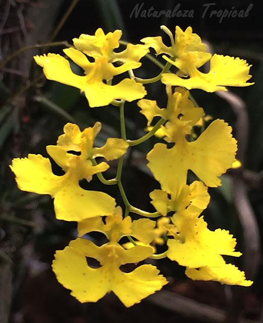 La orquídea Bailarina o Cimarrona, Tolumnia guibertiana