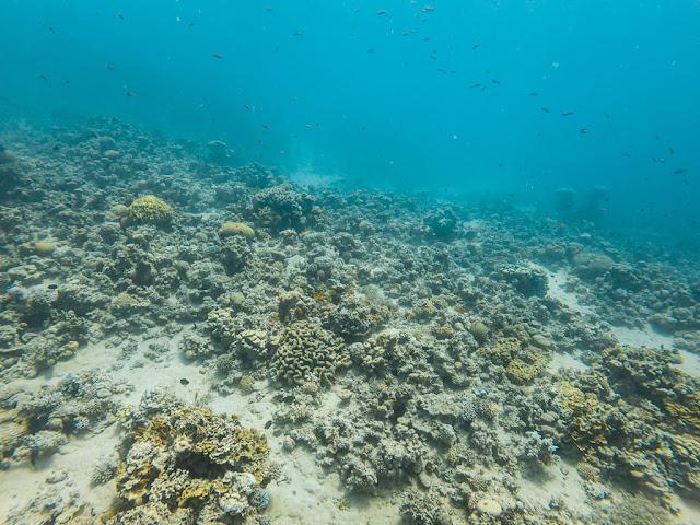 Mucho coral en el Japanese Garden, Aqaba, mar Rojo, Jordania