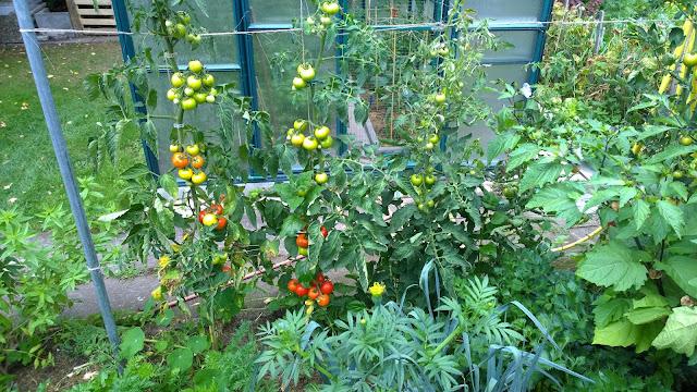 reifende Tomaten im Freiland  (c) by Joachim Wenk