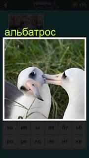 два альбатроса сидят на траве в игре 667 слов 7 уровень