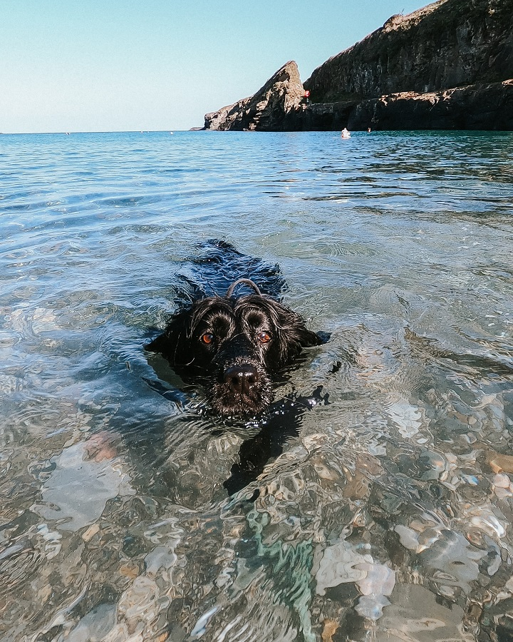 dogs swimming in Cornwall