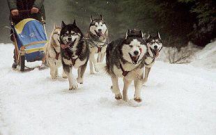 Schlittenhunde müssen ausdauernd und gegen Kälte resistent sein