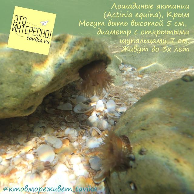 лошадиная актиния в Азовском море