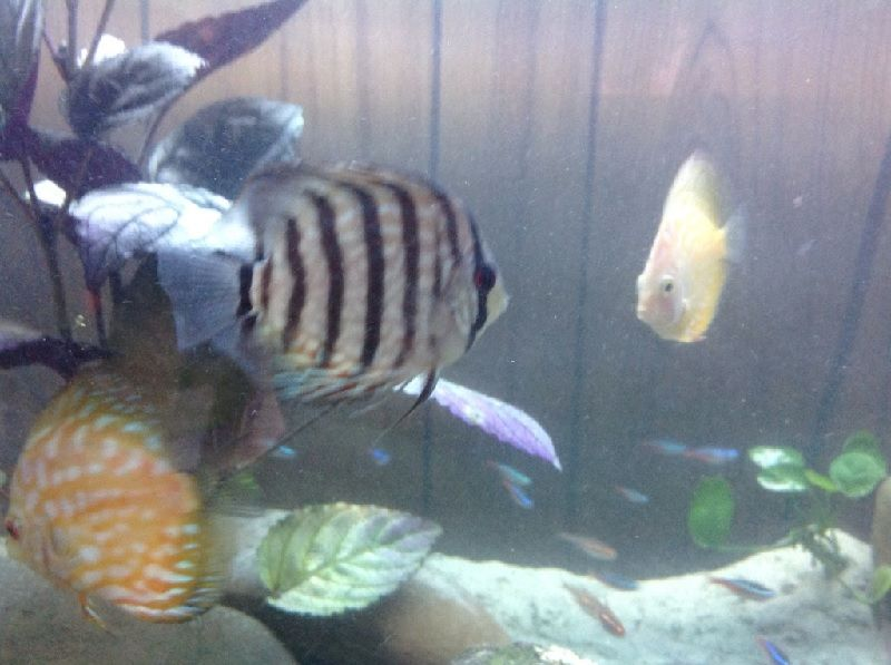 Gambar Ciri Ciri Ikan Hias sakit Atau Stres-Ikan Discus