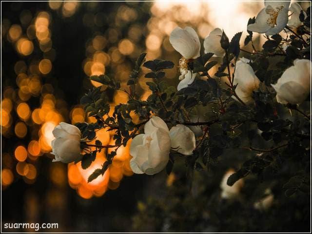 خلفيات ورود جميلة جدا 5 | Beautiful Roses Wallpapers 5