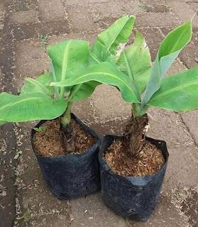 Pisang Cavendish dalam pot dapat kita buat dengan cara yang sederhana dan relatif mudah dikerjakan. Bibit pisang Cavendish agar bisa tumbuh hidp dan berbuah ada teknik khusus dan langkah yang harus diperhatikan agar bisa berbuah bagus dalam pot.