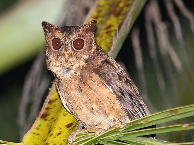Foto burung Celepuk mentawai di Pulau Siberut Informasi Mengenai Burung Celepuk Mentawai