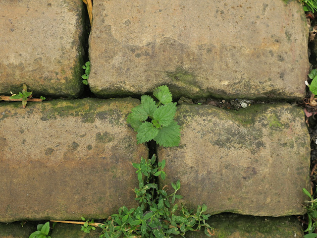 Nettle growing through cobbles in street. Halifax, England. June 27th 2020.
