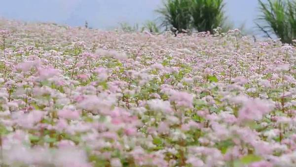 Hoa tam giác mạch Tà Nung Đà Lạt