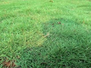 Jual Rumput Swiss Murah Langsung Dari Petani | Pasang Tanam Rumput Swiss | Tukang Rumput Bogor
