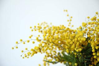 Gambar Bunga Akasia yang Indah 16
