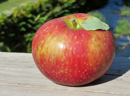 Large oblate apple, streaky red, with a green leaf still attached to its thick stem.