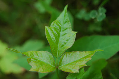 Learn about Poison Ivy