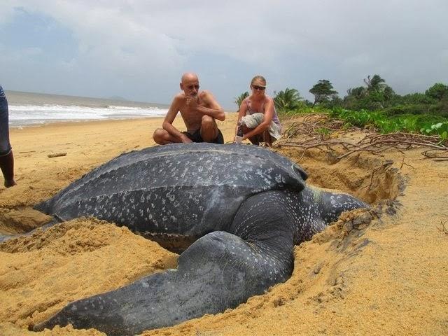 Большая черепаха, Видео черепахи, Самая большая черепаха видео, Особенности черепах