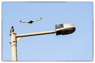 Két galamb, egyik a lámpaoszlopon ül, a másik épp rászáll Szegeden