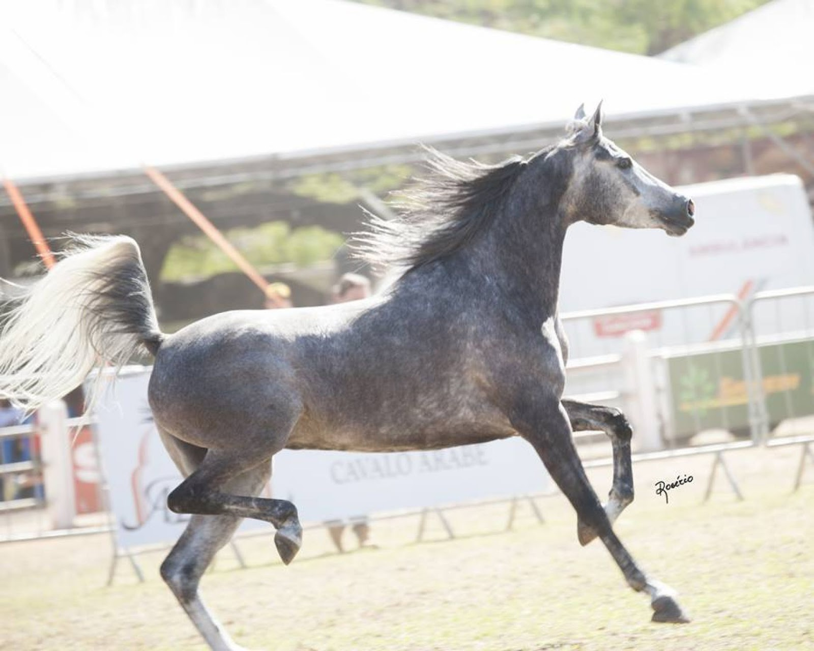 Cavalo Árabe ou Puro-Sangue Árabe