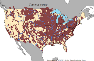 Common Carp, Common Carp Map, Asian Carp, Asian Carp Map, Carp in the United States, Texas Freshwater Fly Fishing, TFFF, Fly Fishing Texas, Texas Fly Fishing, Carp in Texas, Common Carp in Texas, Pat Kellner
