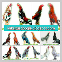 11 Macam Warna Dan Nama Bulu Ayam Aduan Paling Tersohor