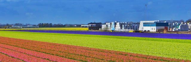 Campos de flores y tulipanes en los Paises Bajos