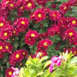 Χρυσάνθεμo, Chrysanthemum