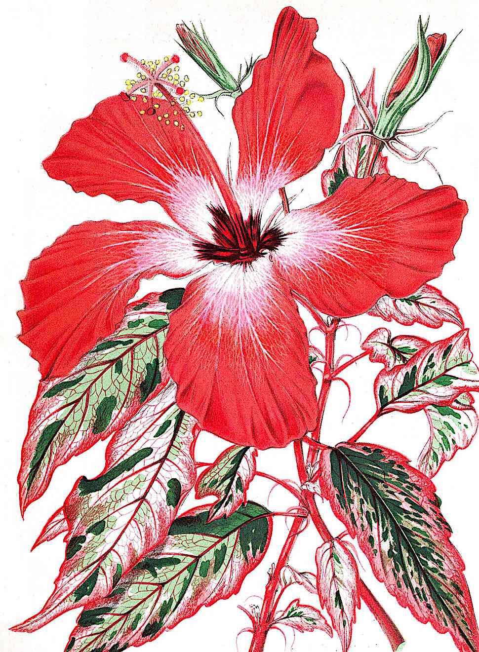 an 1863 botanical illustration of a red flower
