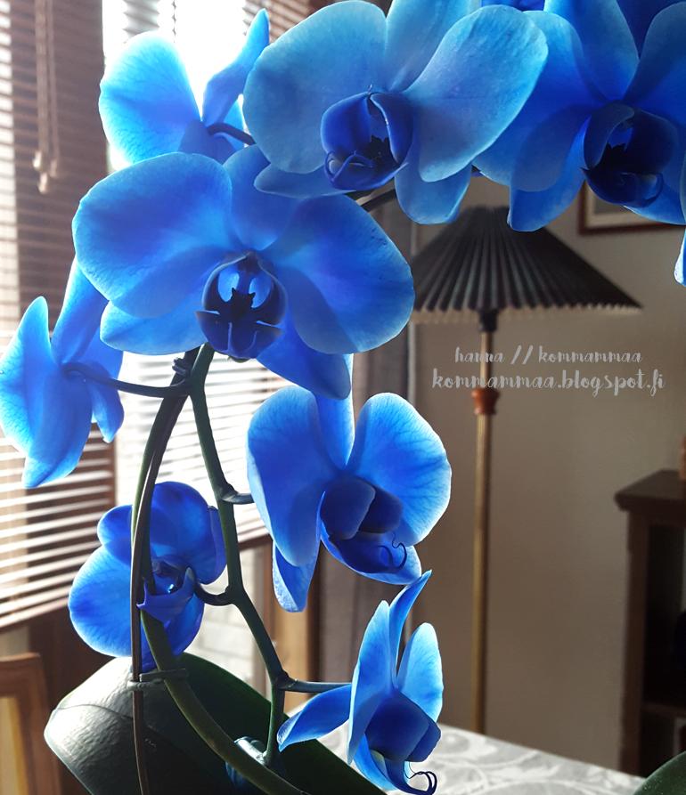 sininen orkidea perhosorkidea kukka