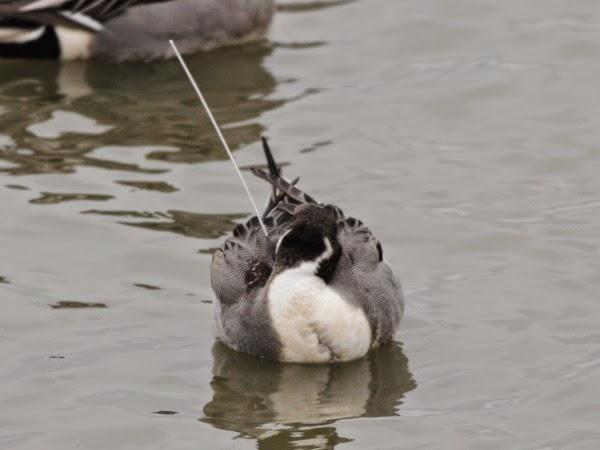 米子水鳥公園: アンテナ付きのオ...