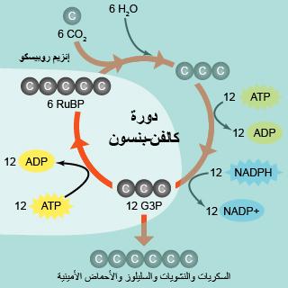 دورة كالفن بنسون ، التفاعلات اللاضوئية