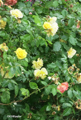 roses, Rosa