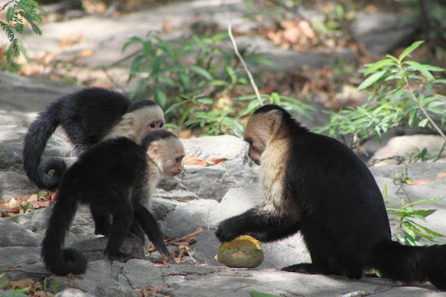Monkey see, monkey do, depending on age, experience and efficiency