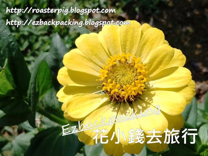 香港魚尾菊