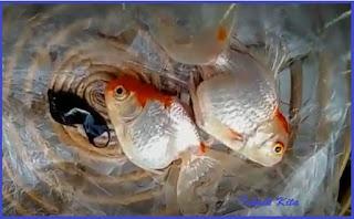 Penyebab ikan koki mudah mati mendadak