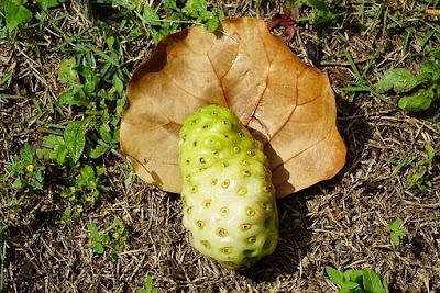 manfaat-buah-mengkudu-bagi-kesehatan,www.healthnote25.com