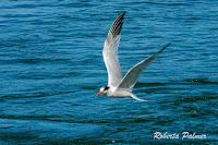 Elegant Tern, Moss Landing, CA Sept. 24, 2016, by Roberta Palmer