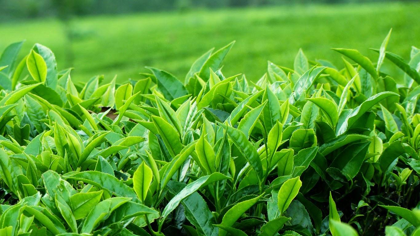 Hình ảnh nông nghiệp: Lá trà xanh/ Tea leaf (L)