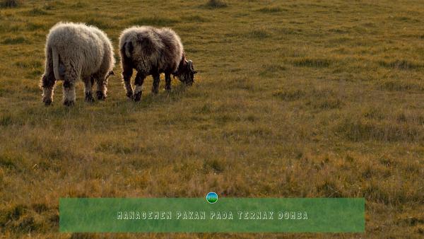 Managemen Pakan Pada Ternak Domba