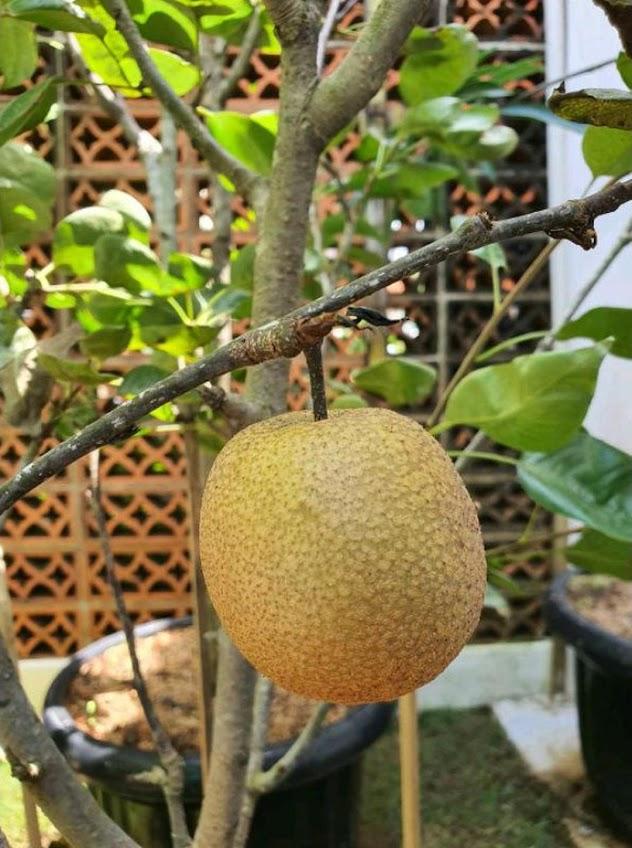 bibit buah pir asia Jawa Barat