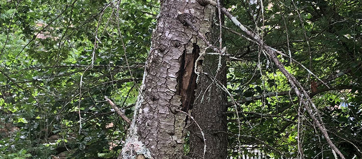 Evergreen tree canker disease causing open wound in trunk and foliage loss