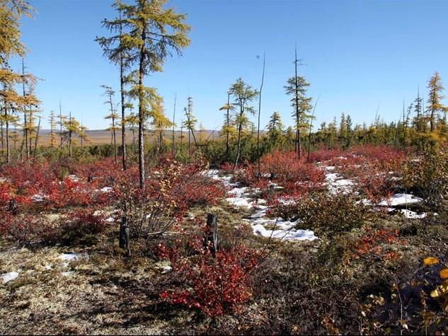 Larix gmelinii  nella Tundra