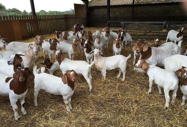 usaha peternakan kambing etawa