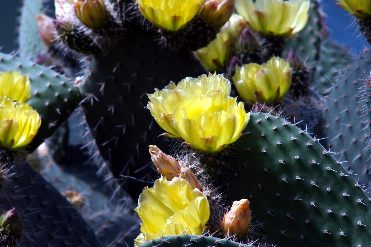 #097 Konica Hexar f3.5 135mm – Kaktus auf Kubismus