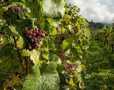 gambar Pengolahan lahan yang baik supaya hasil anggur yang ditanam berbuah maksimal