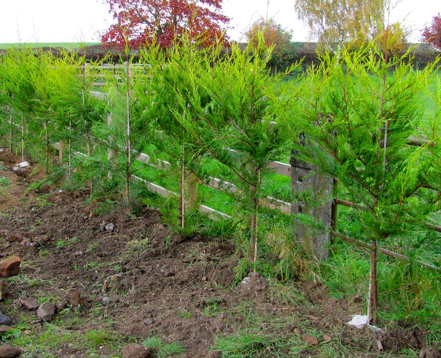 How to grow a leylandii hedge the garden of eaden for Planting a garden
