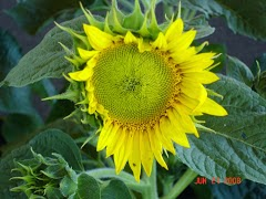 Young Sunflower Opening