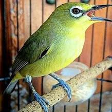 Ciri Ciri Yang Membedakan Burung Pleci Jantan Dan Betina