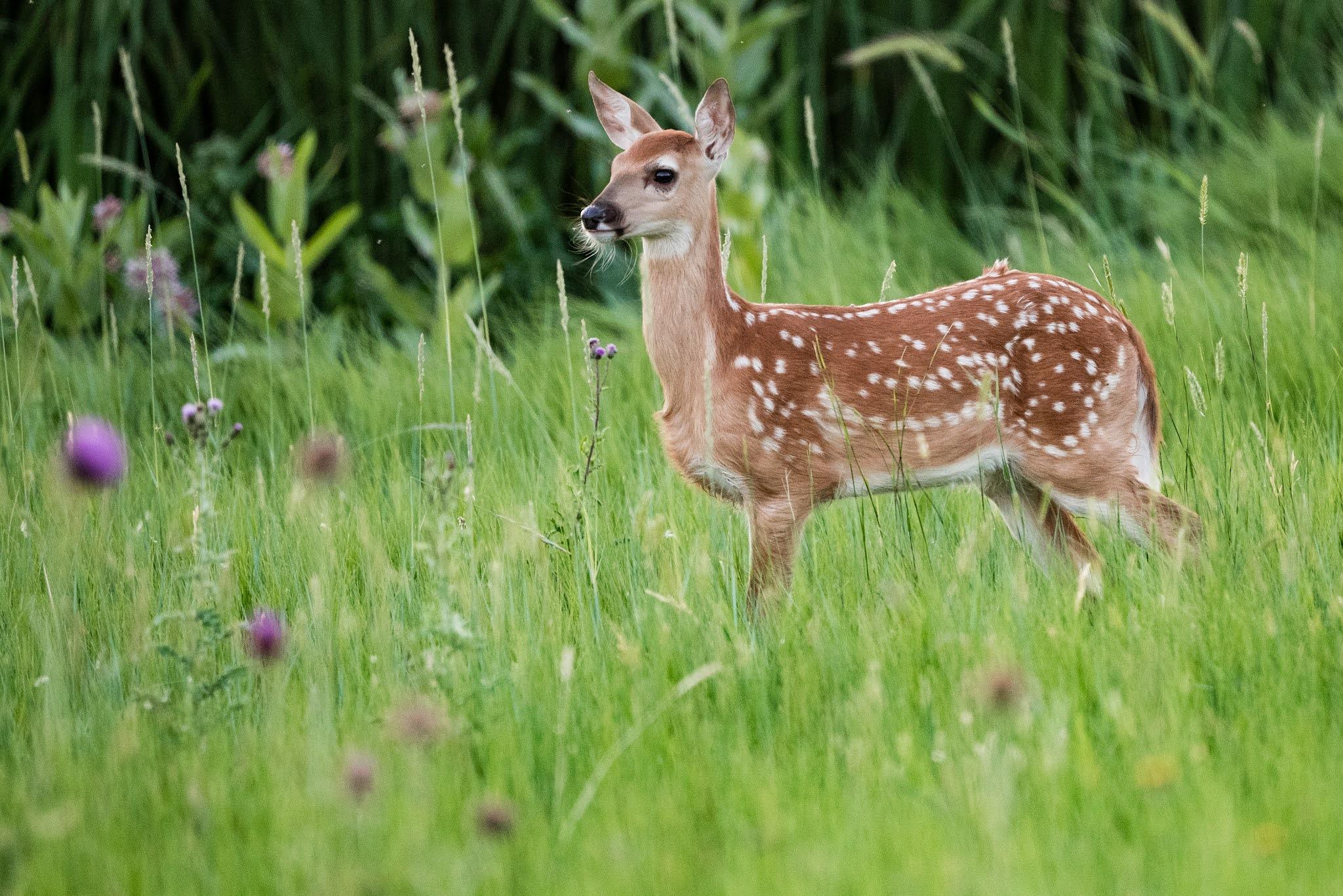 Baby Deer Fawn in Ohio