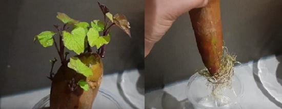 Progress of sweet potato after 2 & a half week