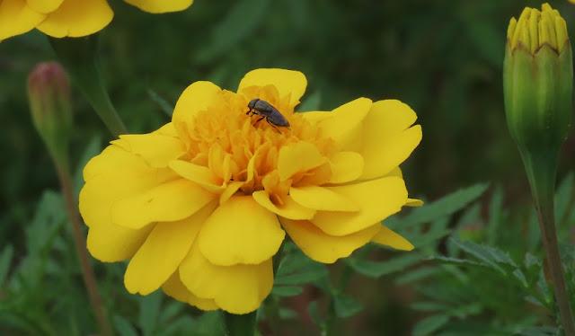 マリーゴールドの蜜を吸う虫