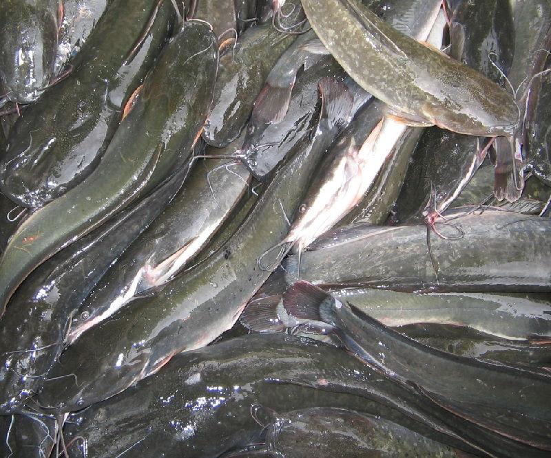 Pemijahan Ikan Lele Secara Alami