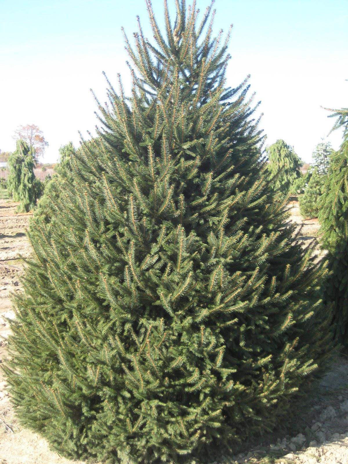 Pine Trees For Christmas